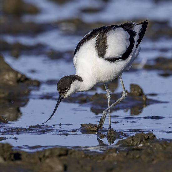 Rupert Gibson Photography - Greeting Cards - Avocet