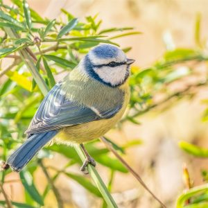 Rupert Gibson Photography - Greeting Cards - Blue Tit
