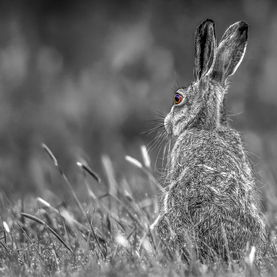 Rupert Gibson Photography - Greeting Cards - Brown Hare 1