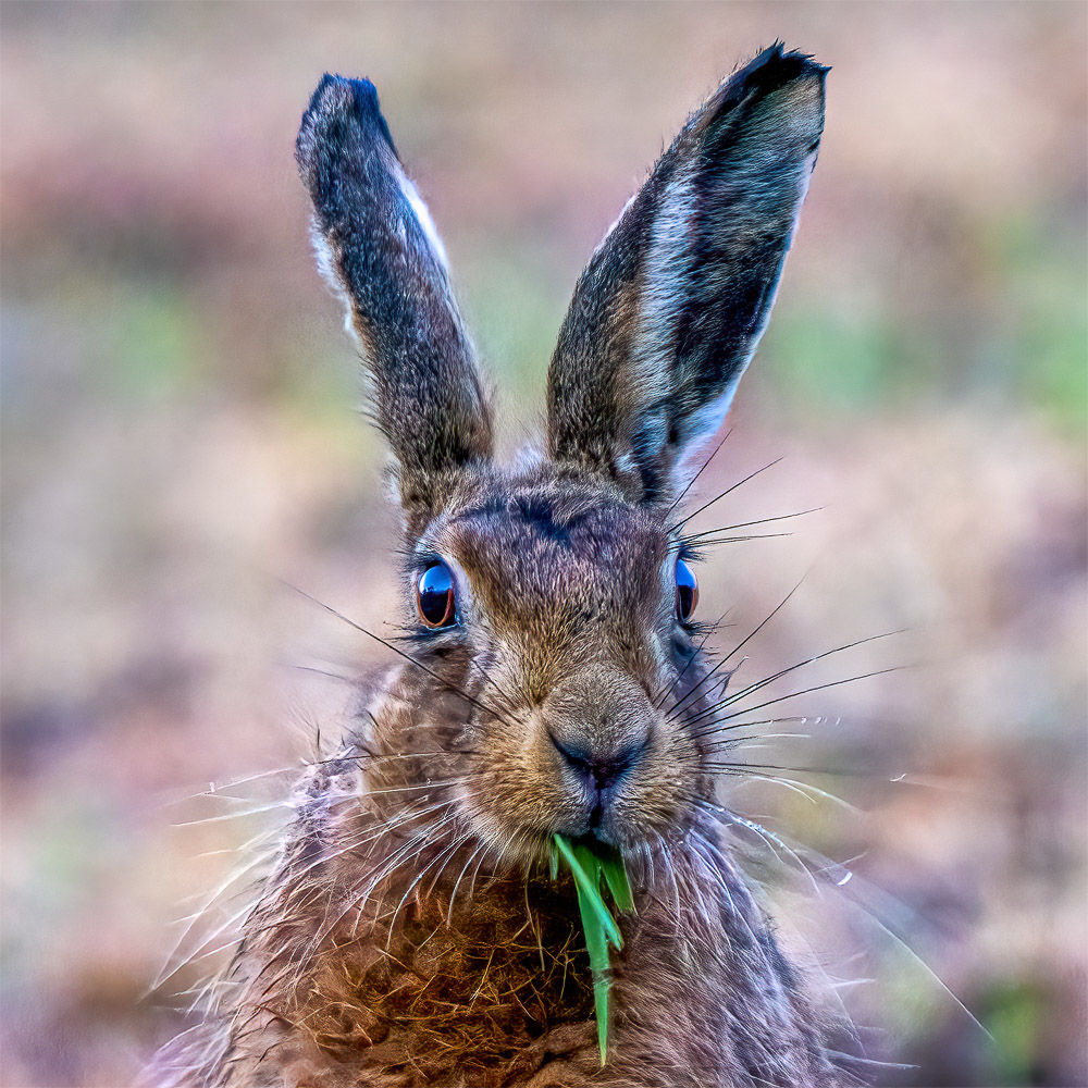 Rupert Gibson Photography - Greeting Cards - Brown Hare 2