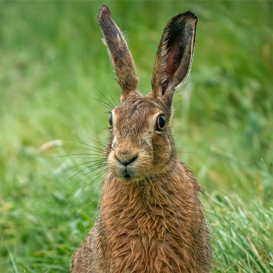 Rupert Gibson Photography - Greeting Cards - Brown Hare 3