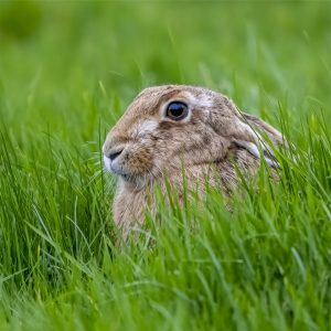 Rupert Gibson Photography - Greeting Cards - Brown Hare 4