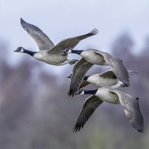 Rupert Gibson Photography - Greeting Cards - Canadian Geese
