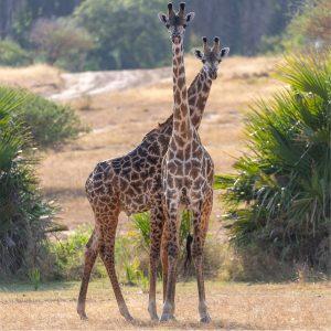 Rupert Gibson Photography - Greeting Cards - Giraffe