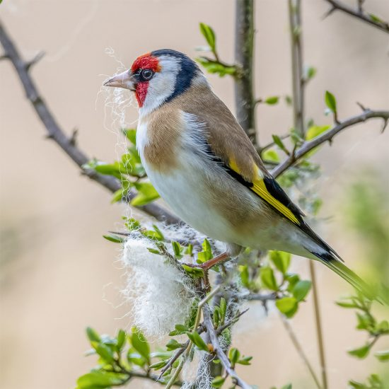 Rupert Gibson Photography - Greeting Cards - Gold Finch