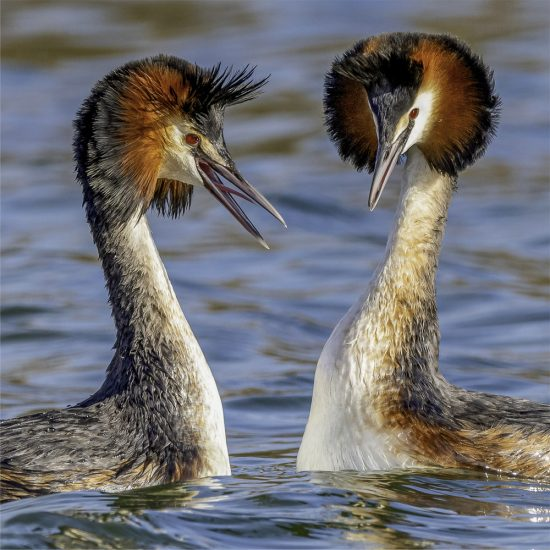Rupert Gibson Photography - Greeting Cards - Great Crested Grebes