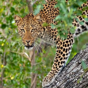 Rupert Gibson Photography - Greeting Cards - Leopard