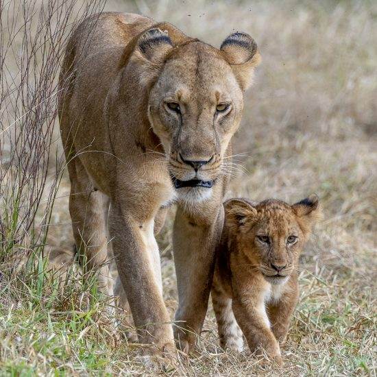 Rupert Gibson Photography - Greeting Cards - Lioness and cub