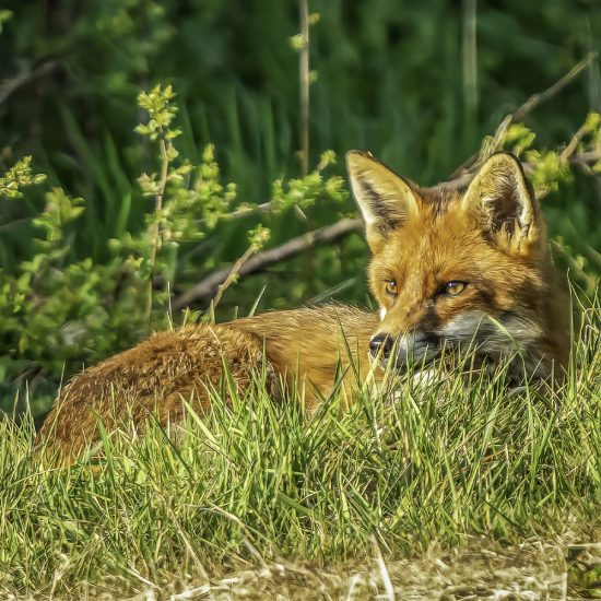 Rupert Gibson Photography - Greeting Cards - Red Fox