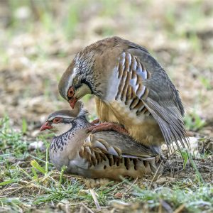 Rupert Gibson Photography - Greeting Cards - Red Legged Partridge