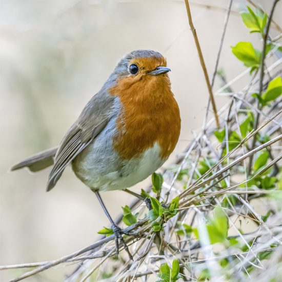 Rupert Gibson Photography - Greeting Cards - Robin