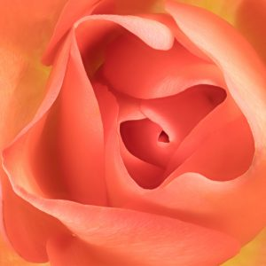 Rupert Gibson Photography - Greeting Cards - Rose 2