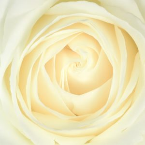 Rupert Gibson Photography - Greeting Cards - Rose 3