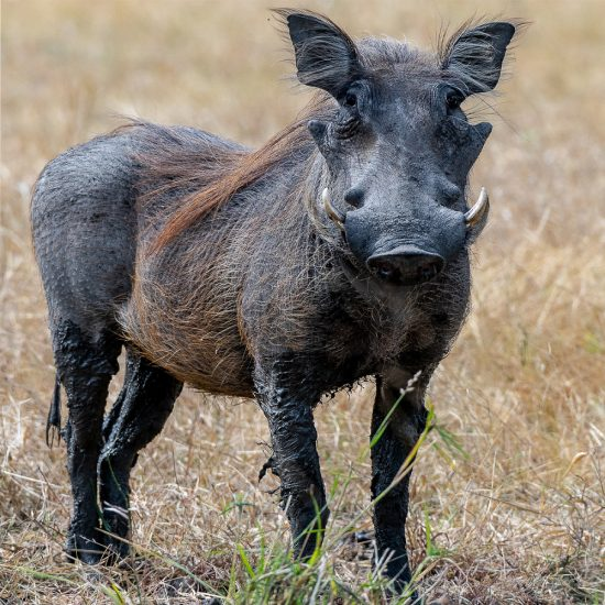 Rupert Gibson Photography - Greeting Cards - Warthog
