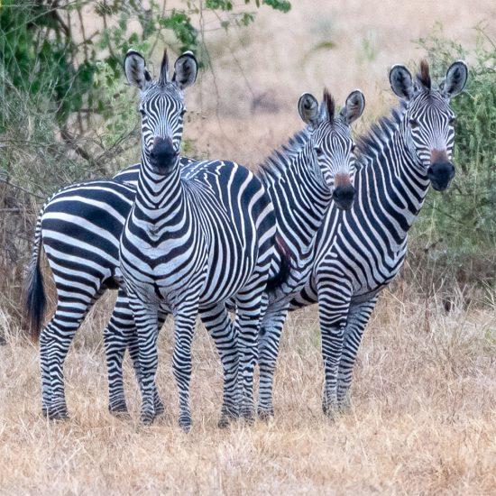 Rupert Gibson Photography - Greeting Cards - Zebra